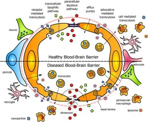 healthy diseased bloodbrain barrier