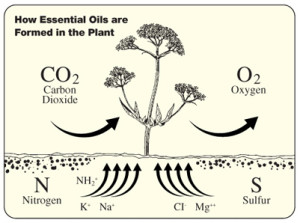 essential_oil_creation_in_plants
