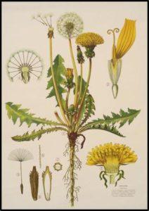dandelion root botanical