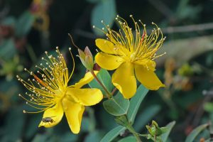 yelow-hypericum-flower